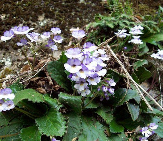 800px Haberlea rhodopensis wild Bulgaria