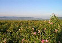 kazanlak roses main
