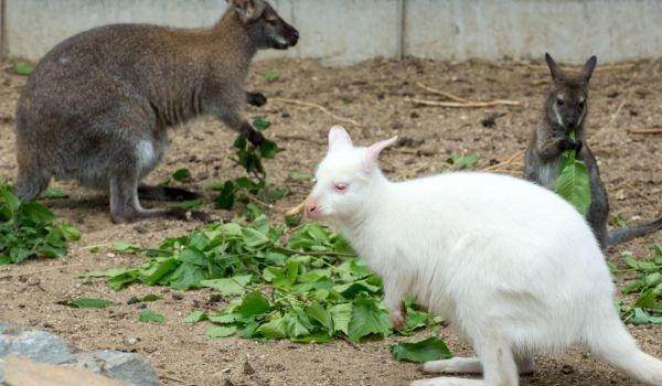 kangaroo albino
